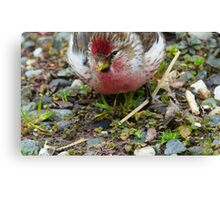 Realy Tasty - Redpoll - Southland - New Zealand Canvas Print