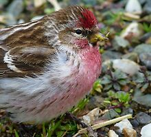 I am in the pink! Redpoll - Southland - New Zealand by AndreaEL