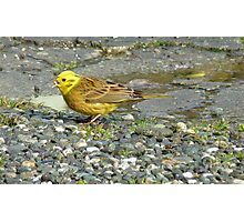 Down the hatch! - Yellowhammer - NZ Southland Photographic Print