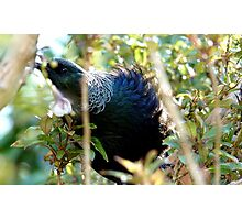 Don't distract me - Tui - NZ - Southland Photographic Print