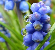Drops on Bells - Grape Hyacinthis - NZ - Southland by AndreaEL