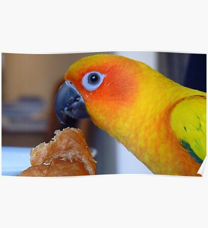 I hope no one is looking! - Sun Conure - NZ ** Poster