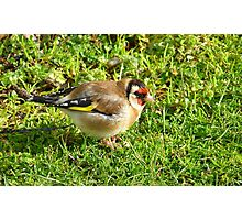 I'm a colorful chap! - Goldfinch - NZ - Southland Photographic Print