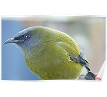 Can you get any closer - Belbird - NZ - Southland Poster