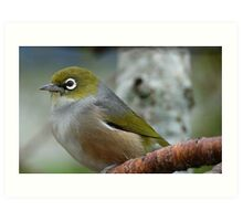 Handsome is the word! - Silvereye - NZ - Southland Art Print