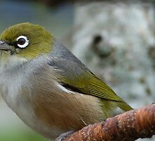 Handsome is the word! - Silvereye - NZ - Southland by AndreaEL