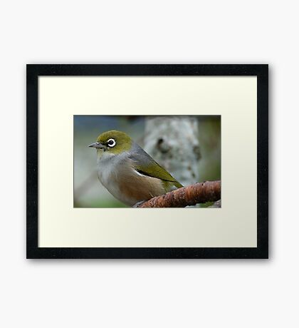 Handsome is the word! - Silvereye - NZ - Southland Framed Print