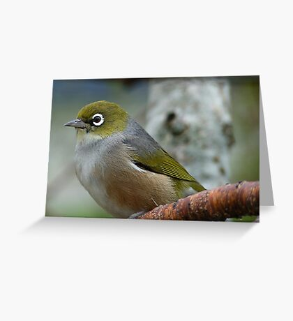 Handsome is the word! - Silvereye - NZ - Southland Greeting Card