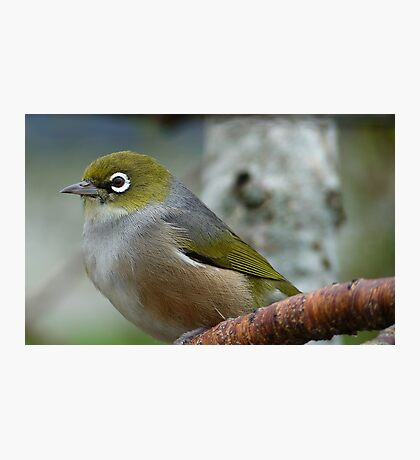Handsome is the word! - Silvereye - NZ - Southland Photographic Print