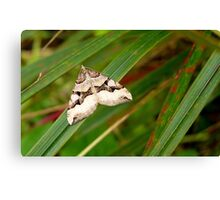 Pointed arrow! - Moth - NZ - Southland Canvas Print
