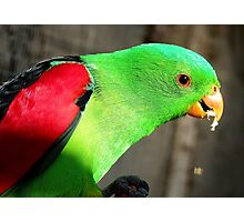 I am a true beauty! - Red Wing Parrot - NZ - Gore Photographic Print