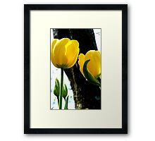 Standing tall! - Yellow Tulips - NZ - Gore - Southland Framed Print