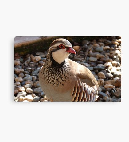 You're Amusing! - Red Legged Partridge - NZ - Southland Canvas Print