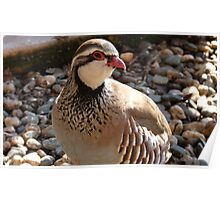 You're Amusing! - Red Legged Partridge - NZ - Southland Poster
