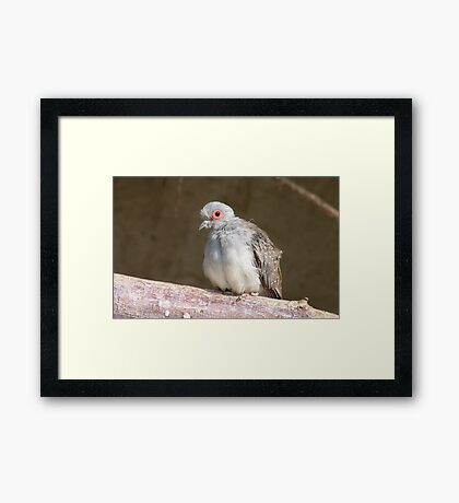I am not the Ugly Duckling - Diamond Dove - NZ - Southland Framed Print