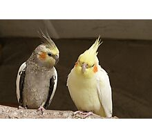Friends catching up! - Cockatiels - NZ - Southland Photographic Print
