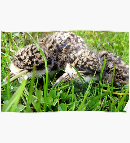 Stay low! - Plover Chicks - NZ - Southland Poster
