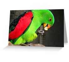 Got to love peanuts! - Red-Winged Parrot - NZ - Gore Greeting Card