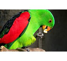 Got to love peanuts! - Red-Winged Parrot - NZ - Gore Photographic Print