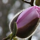 Ready to reveal her hidden beauty! - Magnolia - NZ by AndreaEL