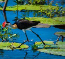 Jacana - Yellow Water Billabong - Kakadu National Park Sticker