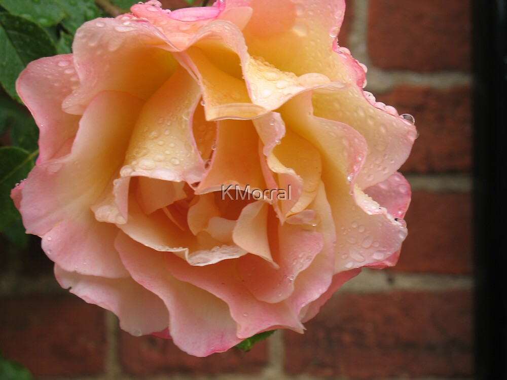 Rose Droplet  by KMorral