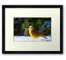 Glad the sun came out! - Yellow Hammer - NZ - Southland Framed Print