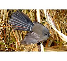 Natures beautiful Fan! - Fantail - NZ - Southland Photographic Print
