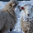 We got Hats & Scarves to match the Snow! - Sheep - NZ - Southland by AndreaEL