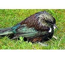 Boy I'm Drenched! - Tui - New  Zealand  Photographic Print