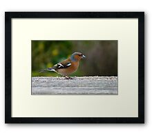 Chaffie comes to visit! - Chaffinch - NZ - Southland Framed Print