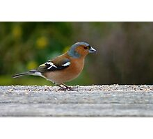 Chaffie comes to visit! - Chaffinch - NZ - Southland Photographic Print