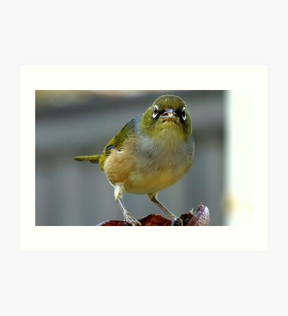This is what I think of you! - Silvereye - NZ - Southland Art Print