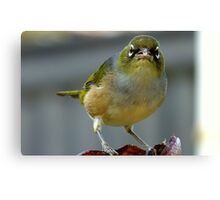 This is what I think of you! - Silvereye - NZ - Southland Canvas Print
