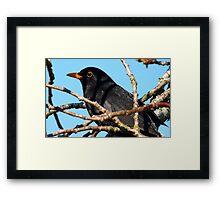 Mr Black! - Blackbird - NZ - Southland Framed Print