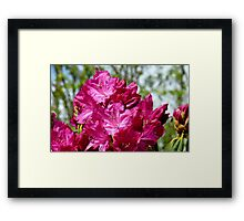 Reaching up - Rhododendron - NZ - Southland Framed Print