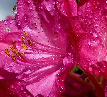 After a shower!  - Rhododendron - NZ - Southland by AndreaEL