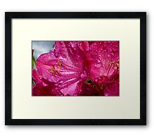 After a shower!  - Rhododendron - NZ - Southland Framed Print