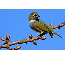 Never Look Back!!! - Silvereye - NZ - Southland Photographic Print