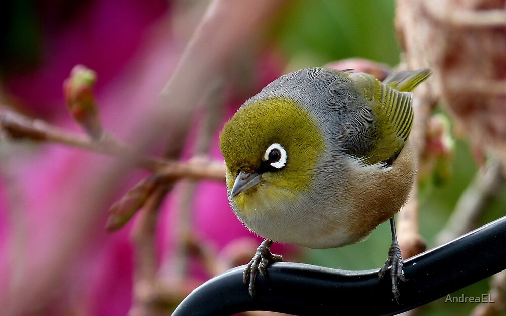 Are you Back again with the camera? - Silvereye - NZ by AndreaEL