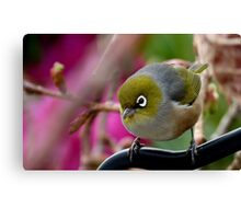 Are you Back again with the camera? - Silvereye - NZ Canvas Print