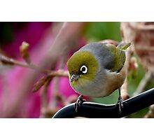 Are you Back again with the camera? - Silvereye - NZ Photographic Print