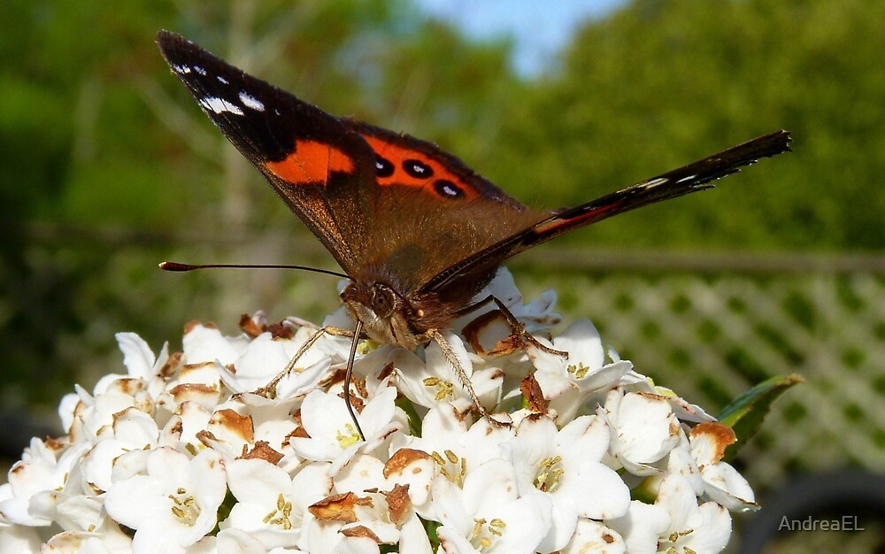 Dipping into the Nectar - Red Admiral Butterfly - NZ - Southland by AndreaEL