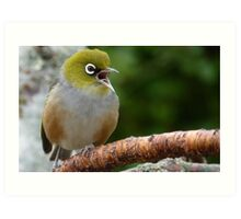 Are you LISTENING!! - Silvereye - NZ - Soutland Art Print