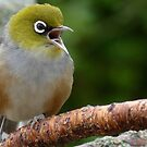 Are you LISTENING!! - Silvereye - NZ - Soutland by AndreaEL