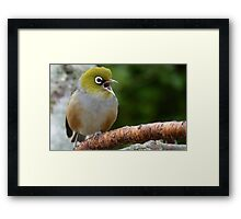 Are you LISTENING!! - Silvereye - NZ - Soutland Framed Print