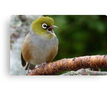 Are you LISTENING!! - Silvereye - NZ - Soutland Canvas Print