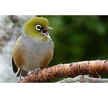 Are you LISTENING!! - Silvereye - NZ - Soutland Photographic Print