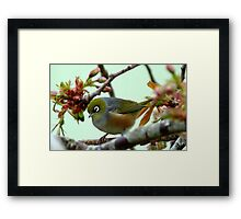 Blending in! - Silvereye - NZ - Southland Framed Print