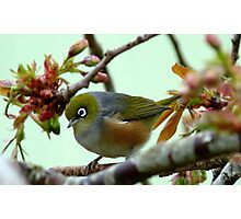 Blending in! - Silvereye - NZ - Southland Photographic Print